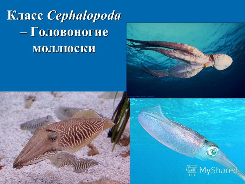 Класс Cephalopoda – Головоногие моллюски