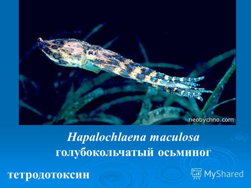 Hapalochlaena maculosa голубокольчатый осьминог тетродотоксин