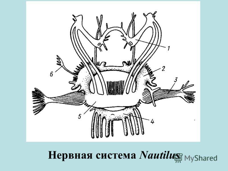 Нервная система Nautilus