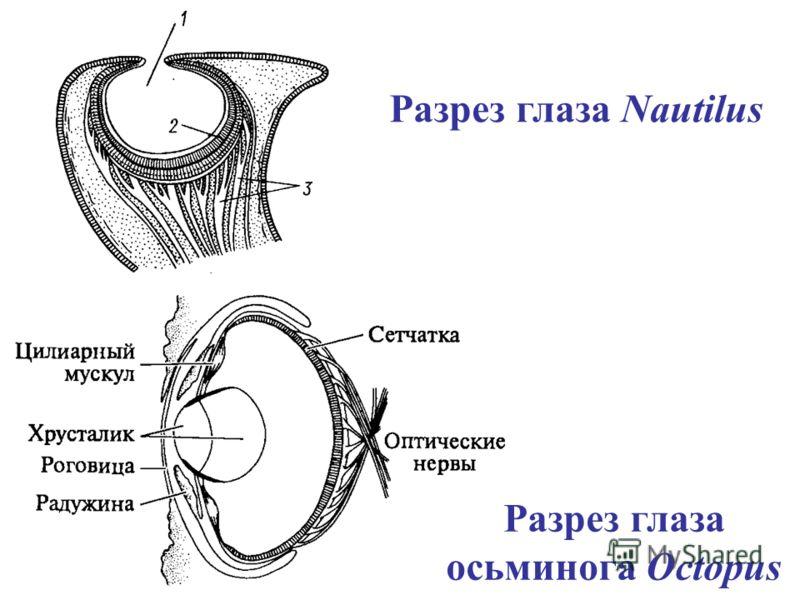 Разрез глаза Nautilus Разрез глаза осьминога Octopus