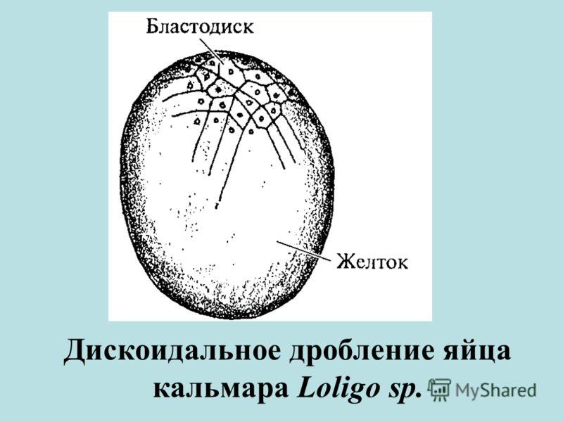 Дискоидальное дробление яйца кальмара Loligo sp.