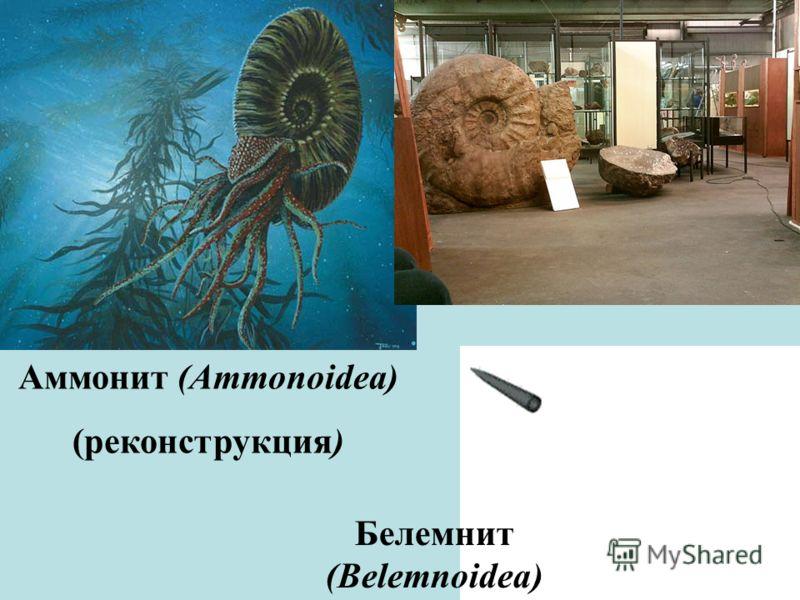 Аммонит (Ammonoidea) (реконструкция) Белемнит (Belemnoidea)