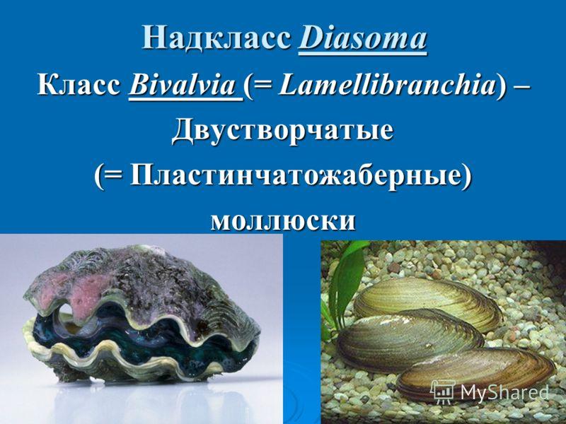 Надкласс Diasoma Класс Bivalvia (= Lamellibranchia) – Двустворчатые (= Пластинчатожаберные) моллюски