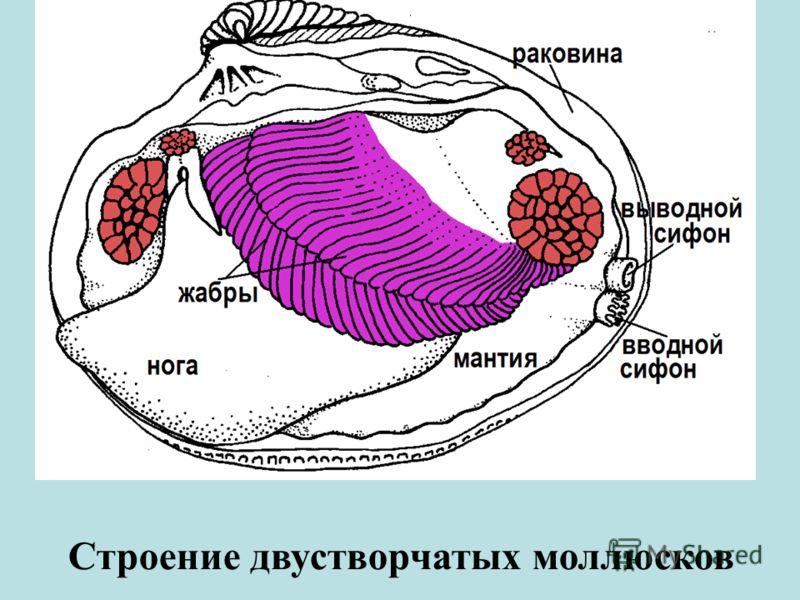 Строение двустворчатых моллюсков