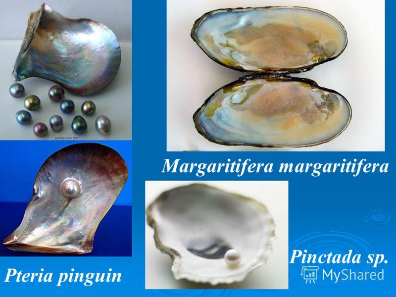 Pinctada sp. Pteria pinguin Margaritifera margaritifera