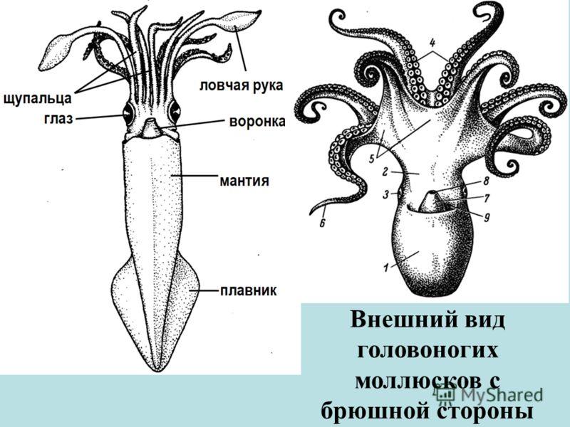 Внешний вид головоногих моллюсков с брюшной стороны