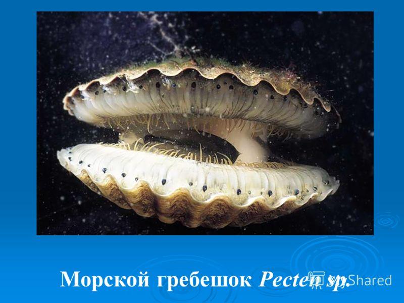 Морской гребешок Pecten sp.