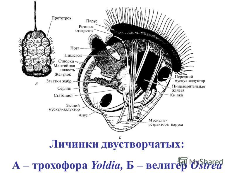 Личинки двустворчатых: А – трохофора Yoldia, Б – велигер Ostrea