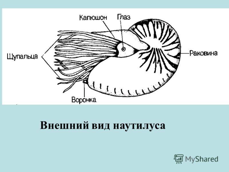 Внешний вид наутилуса