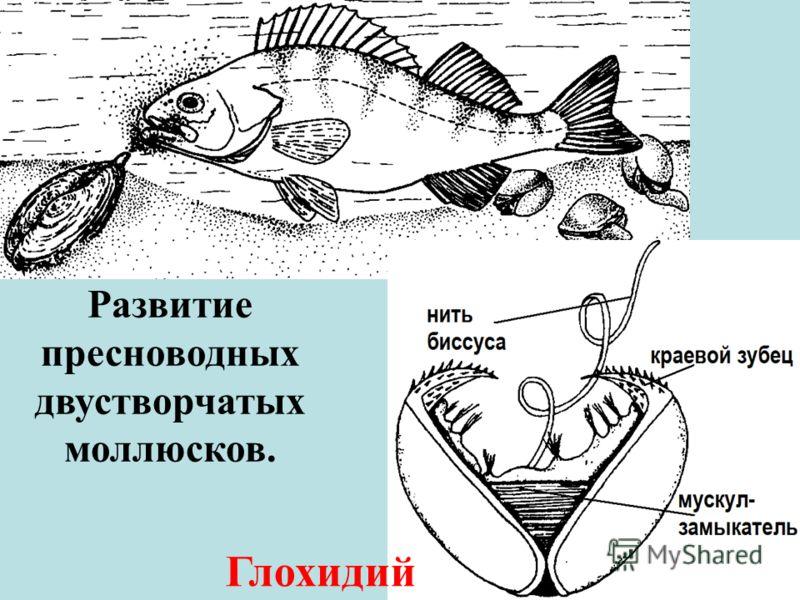 Развитие пресноводных двустворчатых моллюсков. Глохидий