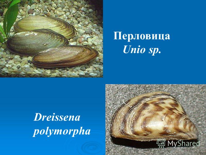 Перловица Unio sp. Dreissena polymorpha