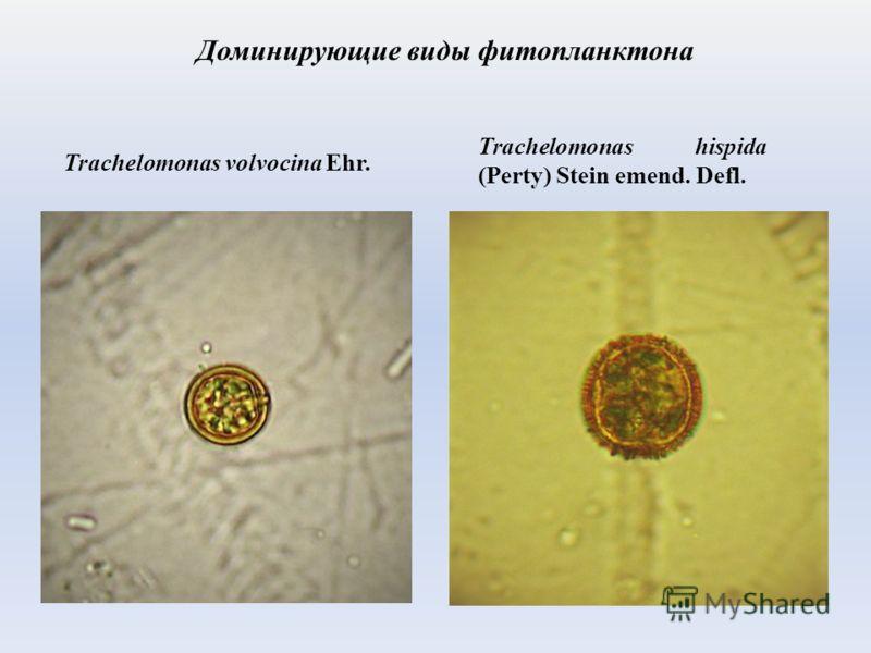 Trachelomonas hispida (Perty) Stein emend. Defl. Доминирующие виды фитопланктона Trachelomonas volvocina Ehr.