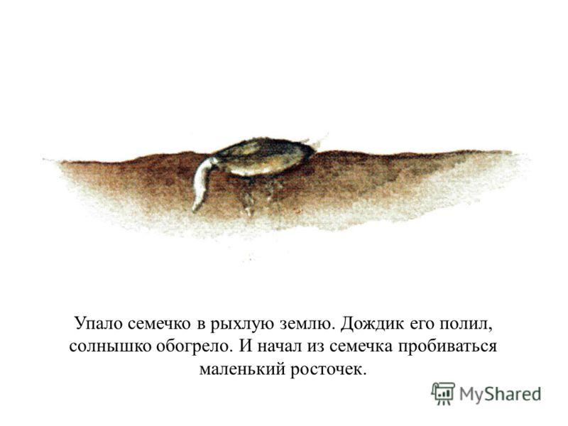 Упало семечко в рыхлую землю. Дождик его полил, солнышко обогрело. И начал из семечка пробиваться маленький росточек.