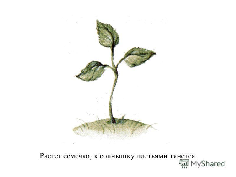 Растет семечко, к солнышку листьями тянется.