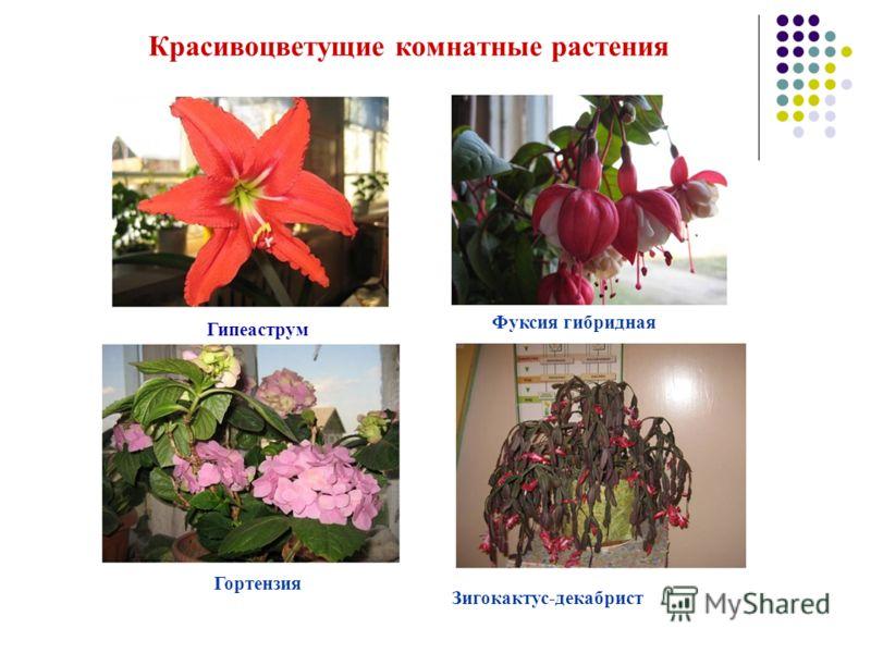 Гипеаструм Фуксия гибридная Гортензия Зигокактус-декабрист Красивоцветущие комнатные растения