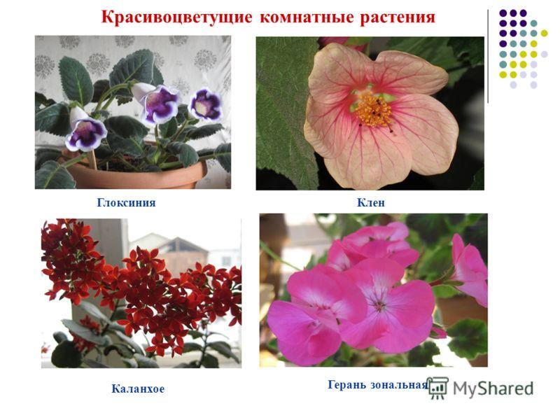ГлоксинияКлен Каланхое Герань зональная Красивоцветущие комнатные растения