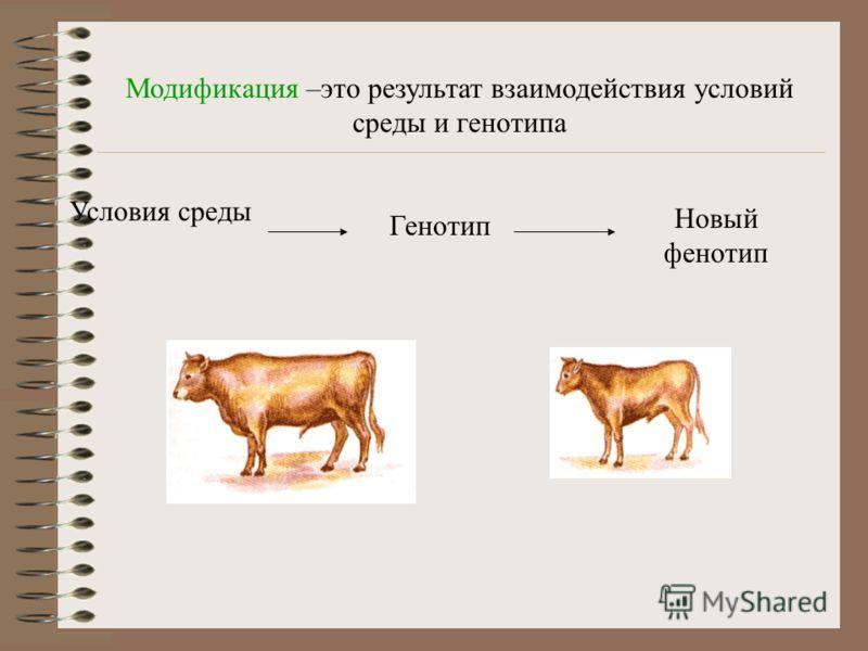 Модификация –это результат взаимодействия условий среды и генотипа Условия среды Генотип Новый фенотип