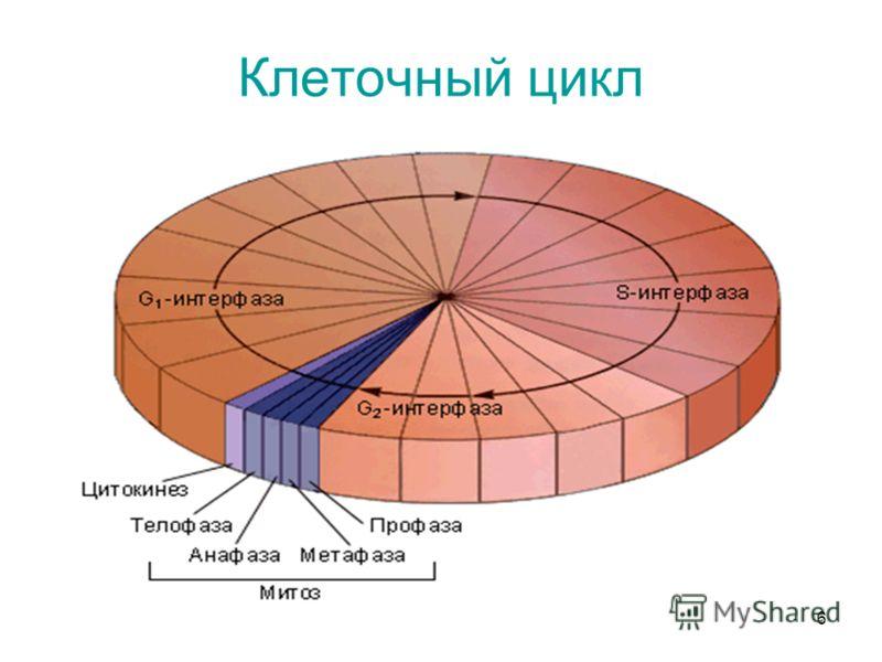 6 Клеточный цикл