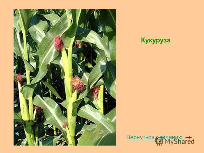 Кукуруза Вернуться к заданию