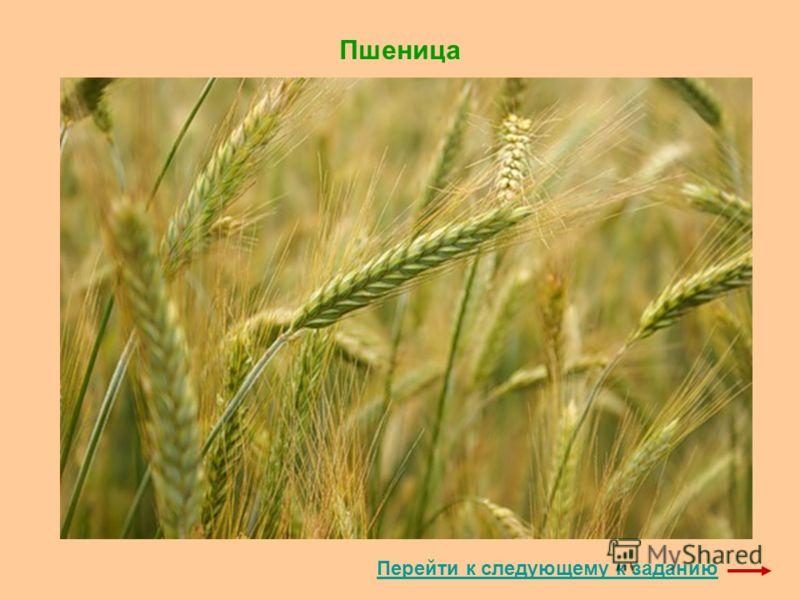 Пшеница Перейти к следующему к заданию
