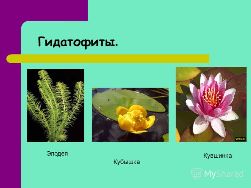 Гидатофиты. Элодея Кувшинка Кубышка
