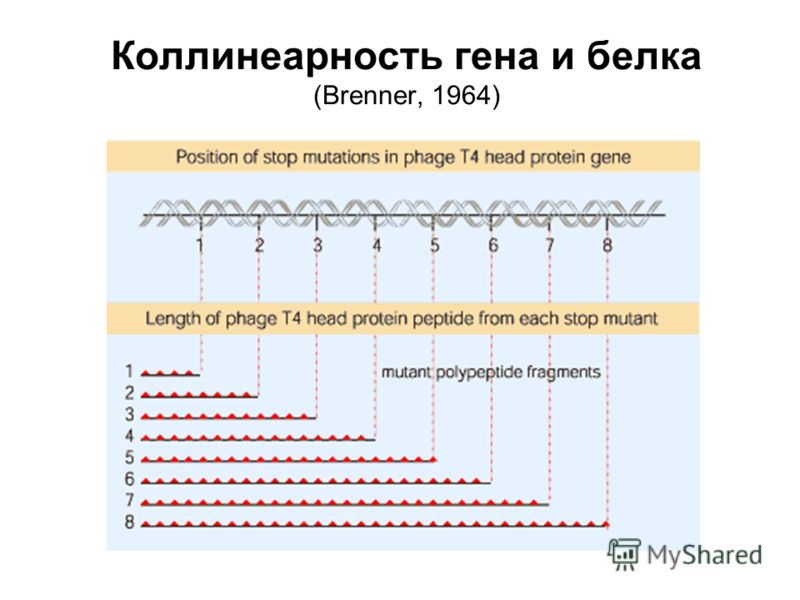 Коллинеарность гена и белка (Brenner, 1964)