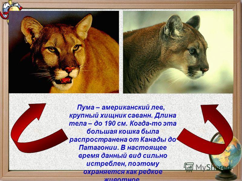 Пума – американский лев, крупный хищник саванн. Длина тела – до 190 см. Когда-то эта большая кошка была распространена от Канады до Патагонии. В настоящее время данный вид сильно истреблен, поэтому охраняется как редкое животное.