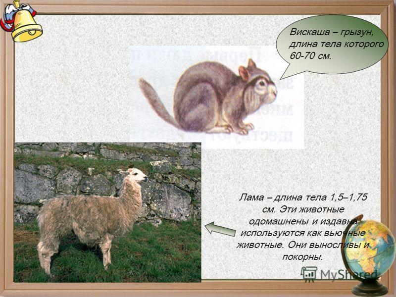 Лама – длина тела 1,5–1,75 см. Эти животные одомашнены и издавна используются как вьючные животные. Они выносливы и покорны. Вискаша – грызун, длина тела которого 60-70 см.