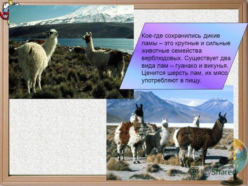Кое-где сохранились дикие ламы – это крупные и сильные животные семейства верблюдовых. Существует два вида лам – гуанако и викунья. Ценится шерсть лам, их мясо употребляют в пищу.