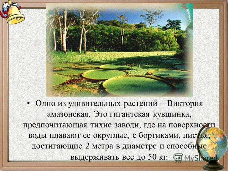 Одно из удивительных растений – Виктория амазонская. Это гигантская кувшинка, предпочитающая тихие заводи, где на поверхности воды плавают ее округлые, с бортиками, листья, достигающие 2 метра в диаметре и способные выдерживать вес до 50 кг.