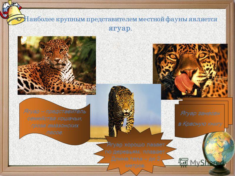 Наиболее крупным представителем местной фауны является ягуар. Ягуар – представитель семейства кошачьи, гроза амазонских лесов. Ягуар хорошо лазает по деревьям, плавает. Длина тела – до 2 метров. Ягуар занесен в Красную книгу