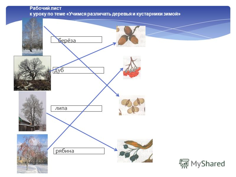 берёза Рабочий лист к уроку по теме «Учимся различать деревья и кустарники зимой» берёза дуб липа рябина