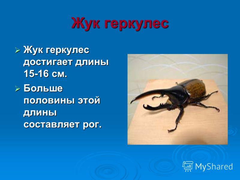 Жук геркулес Жук геркулес достигает длины 15-16 см. Жук геркулес достигает длины 15-16 см. Больше половины этой длины составляет рог. Больше половины этой длины составляет рог.