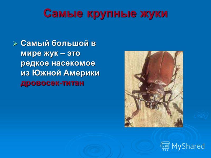 Самые крупные жуки Самый большой в мире жук – это редкое насекомое из Южной Америки дровосек-титан Самый большой в мире жук – это редкое насекомое из Южной Америки дровосек-титан