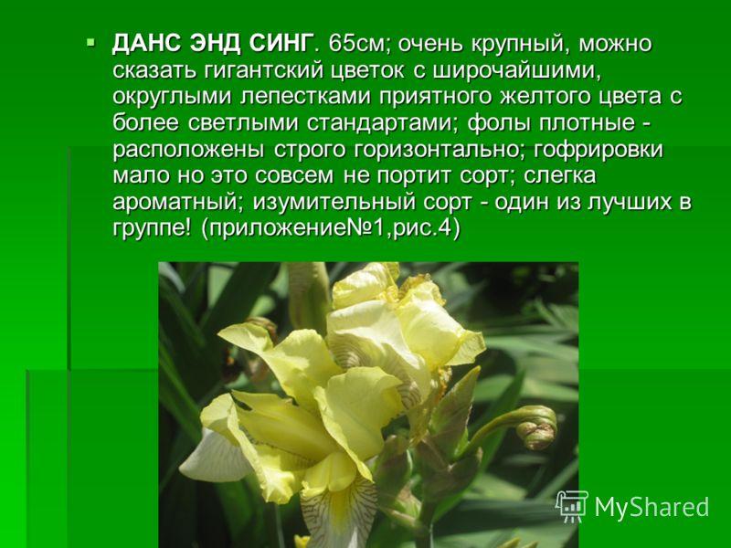 ДАНС ЭНД СИНГ. 65см; очень крупный, можно сказать гигантский цветок с широчайшими, округлыми лепестками приятного желтого цвета с более светлыми стандартами; фолы плотные - расположены строго горизонтально; гофрировки мало но это совсем не портит сор