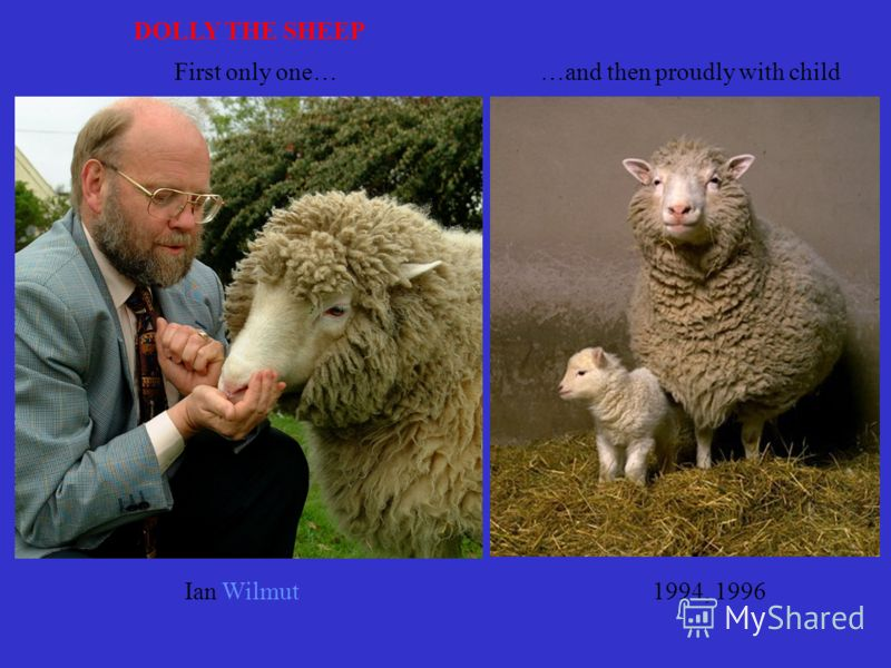 Ian Wilmut DOLLY THE SHEEP First only one……and then proudly with child 1994, 1996