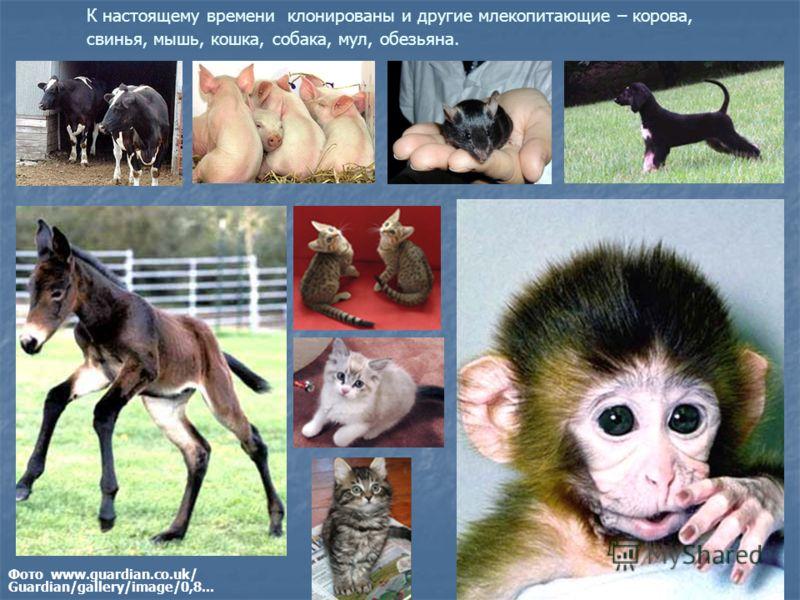 К настоящему времени клонированы и другие млекопитающие – корова, свинья, мышь, кошка, собака, мул, обезьяна. Фото www.guardian.co.uk/ Guardian/gallery/image/0,8...