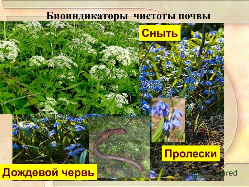 Биоиндикаторы чистоты почвы Пролески Сныть Дождевой червь