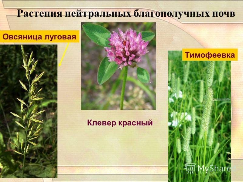 Растения нейтральных благополучных почв Клевер красный Тимофеевка Овсяница луговая