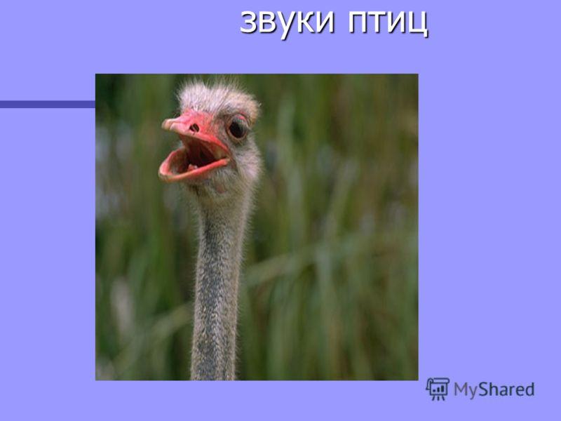 звуки птиц звуки птиц