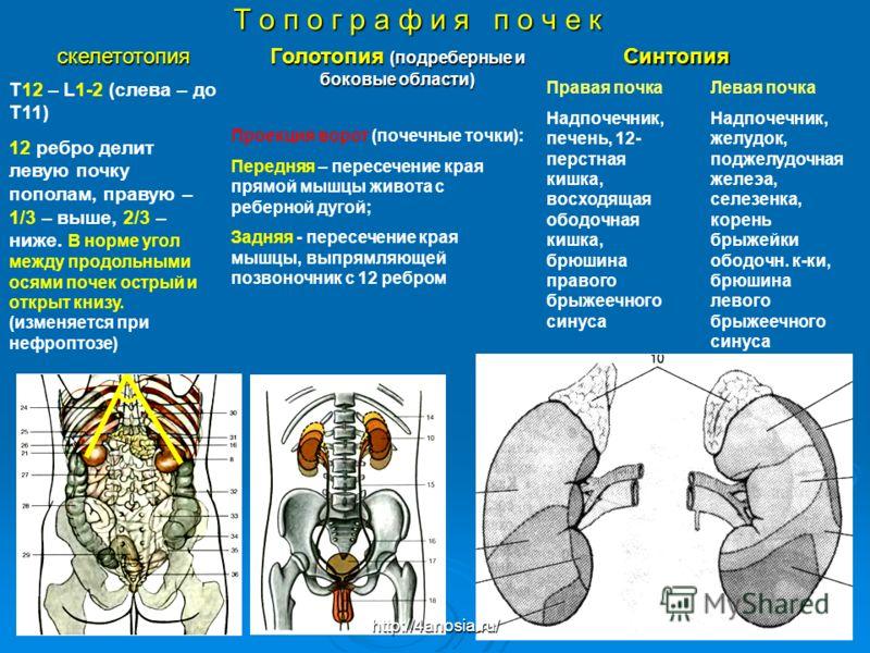 Т о п о г р а ф и я п о ч е к Проекция ворот (почечные точки): Передняя – пересечение края прямой мышцы живота с реберной дугой; Задняя - пересечение края мышцы, выпрямляющей позвоночник с 12 ребром скелетотопия Синтопия Синтопия Голотопия (подреберн