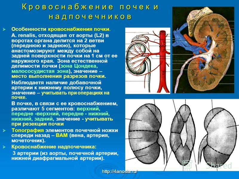 К р о в о с н а б ж е н и е п о ч е к и н а д п о ч е ч н и к о в Особенности кровоснабжения почки. А. renalis, отходящая от аорты (L2) в воротах органа делится на 2 ветви (переднюю и заднюю), которые анастомозируют между собой на задней поверхности