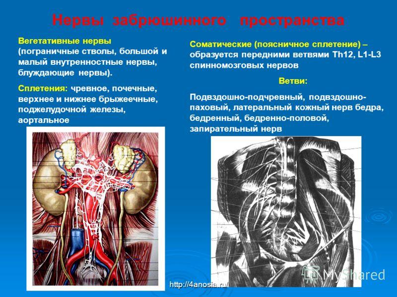 Нервы забрюшинного пространства Соматические (поясничное сплетение) – образуется передними ветвями Th12, L1-L3 спинномозговых нервов Ветви: Подвздошно-подчревный, подвздошно- паховый, латеральный кожный нерв бедра, бедренный, бедренно-половой, запира