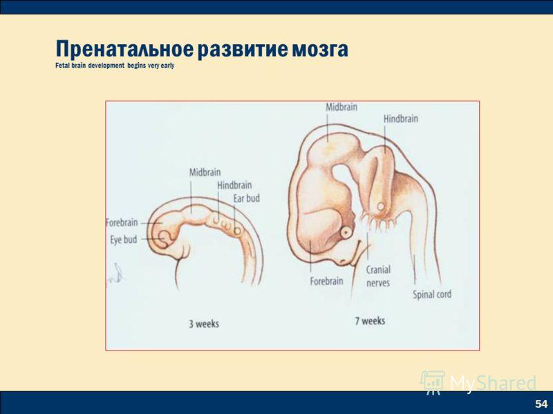 54 Пренатальное развитие мозга Fetal brain development begins very early
