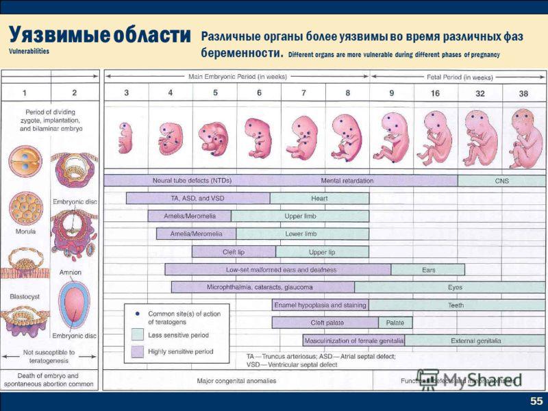 55 Уязвимые области Vulnerabilities Различные органы более уязвимы во время различных фаз беременности. Different organs are more vulnerable during different phases of pregnancy