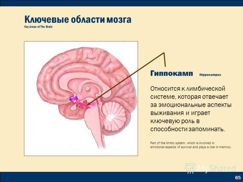 65 Ключевые области мозга Key Areas of The Brain Гиппокамп Hippocampus Относится к лимбической системе, которая отвечает за эмоциональные аспекты выживания и играет ключевую роль в способности запоминать. Part of the limbic system, which is involved