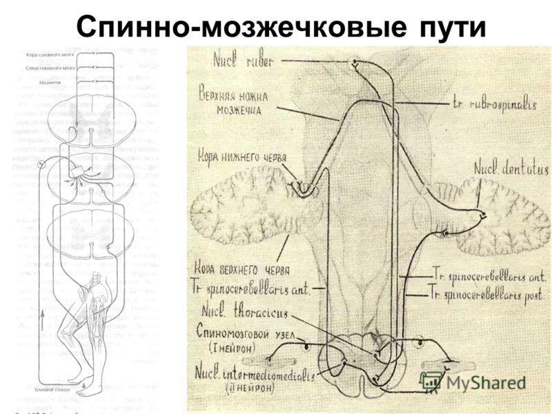 Спинно-мозжечковые пути