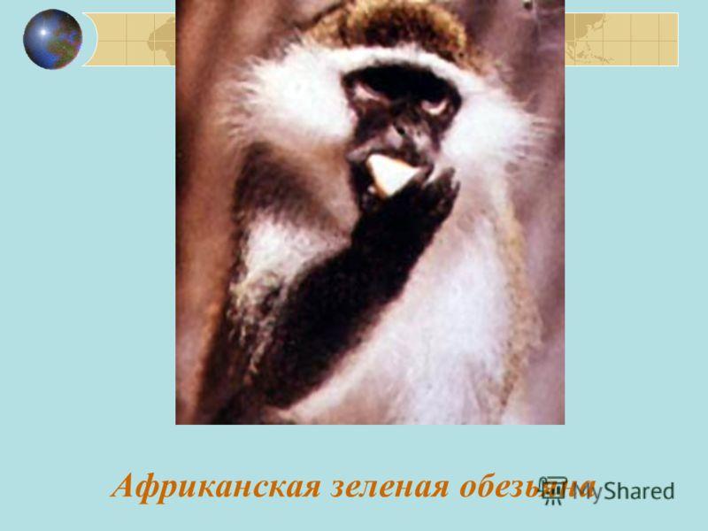 Африканская зеленая обезьяна