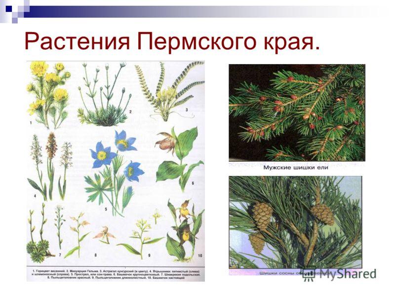Растения Пермского края.