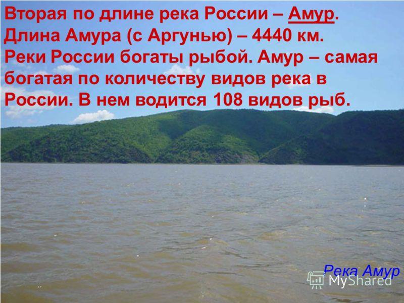 Вторая по длине река России – Амур. Длина Амура (с Аргунью) – 4440 км. Реки России богаты рыбой. Амур – самая богатая по количеству видов река в России. В нем водится 108 видов рыб. Река Амур